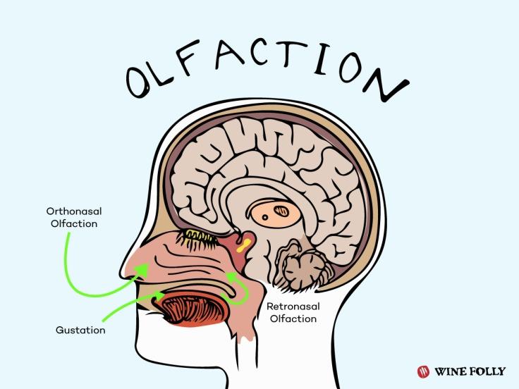olfaction-chart-our-sense-of-smell-taste
